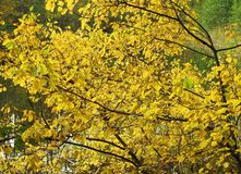 Colorful bush in autumn Royalty Free Stock Photography