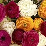 Colorful buttercups bouquet Stock Photos