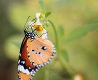 Colorful butterflies feeding on nectar from flowers Royalty Free Stock Photo