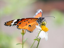 Colorful butterflies feeding on nectar from flowers Royalty Free Stock Photos