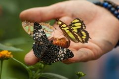 Colorful butterflies in hand in a tropical green hou. Closeup of colorful butterflies in hand in a tropical green house royalty free stock photography