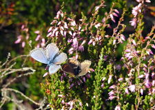 Two beautiful butterfly Royalty Free Stock Photos