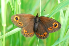 Colorful butterfly. Macro view of colorful brown butterfly with green grass background Royalty Free Stock Photo