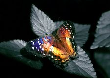 Free Colorful Butterfly Stock Photos - 16155523