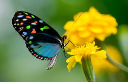 Free Colorful Butterfly Royalty Free Stock Photo - 20599885