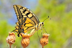 Colorful butterfly royalty free stock images