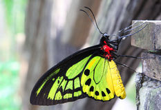 Colorful Butterfly. Beautiful butterfly on the wood wall stock photos