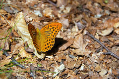 Free Colorful Butterfly  Argynnis Paphia Linnaeus, 1758  On The Thistle Flower In Val D`Aveto Natural Park - Liguria - I Royalty Free Stock Images - 98961769