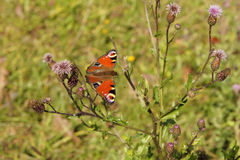 Colorful butterfly. On autumn meadow Royalty Free Stock Image