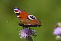 Colorful butterfly basks on a rock Stock Images