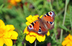 Colorful butterfly on blooming plants royalty free stock photography
