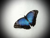 Colorful butterfly. Blue butterfly on white background stock images