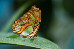 Colorful butterfly. Close-up of an orange and green colored butterfly against green background Stock Photo
