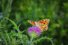 Colorful butterfly collecting pollen Royalty Free Stock Photo