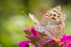 Colorful butterfly collecting pollen from flowers Royalty Free Stock Photography