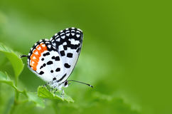 Colorful Butterfly (Common Red Pierrot) perching on green leaves Royalty Free Stock Image