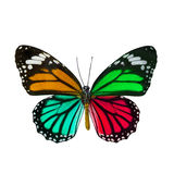 Colorful butterfly , Danaus Genutia , monarch butterfly isol Stock Photography