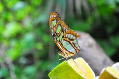 Colorful butterfly eating lemon royalty free stock photo