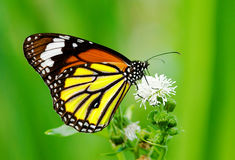 Free Colorful Butterfly Feeding Royalty Free Stock Photo - 15751455