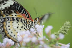 Colorful butterfly feeding on flower. Butterfly feeding on white flower Royalty Free Stock Images