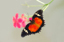 Colorful Butterfly Feeding on Flowers Stock Image
