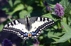 Colorful butterfly on feline methyl. Herbs and aromatic plants to attract beneficial insects, such as a colorful butterfly on feline methyl. Therefore, in our royalty free stock photography