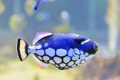Colorful butterfly-fish in a aquarium. Single colorful butterfly-fish in a aquarium Stock Images