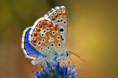 Colorful butterfly on a flower. Close up of a colorful butterfly resting on a blue flower Stock Images