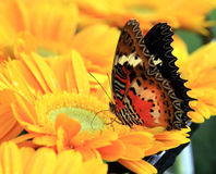 Colorful butterfly on flower. Closeup of colorful butterfly pollinating yellow flower Stock Images