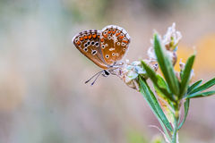 COLORFUL BUTTERFLY ON A FLOWER Royalty Free Stock Photography