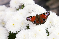 Colorful butterfly on flower Royalty Free Stock Photos