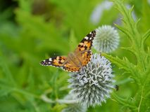 A colorful butterfly on a flower. A monarch butterfly danaus chrisippus on a great globe thistle echinops spheerosphalus or pale globe-thistle royalty free stock image