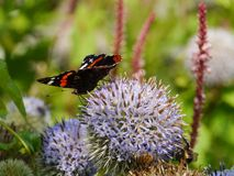 A colorful butterfly on a flower. Red admiral buddleja davidii butterfly on a great globe thistle echinops spheerosphalus or pale globe-thistle royalty free stock image