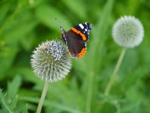 A colorful butterfly on a flower. Red admiral buddleja davidii butterfly on a great globe thistle echinops spheerosphalus or pale globe-thistle stock image