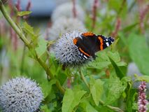 A colorful butterfly on a flower in summer. Red admiral (buddleja davidii) butterfly on a great globe thistle echinops spheerosphalus or pale globe-thistle royalty free stock photo