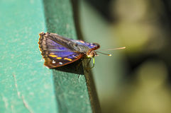 Colorful butterfly at Iguazu Falls,  Brazil Royalty Free Stock Image