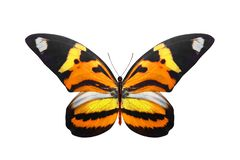 Tropical orange butterfly. isolated on white background. Orange butterfly. isolated on white background stock photo