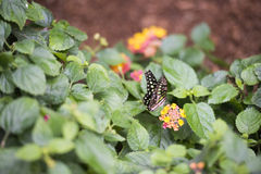 Colorful butterfly kissing the flowers Royalty Free Stock Photos