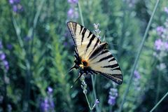 Colorful butterfly on the lavender royalty free stock photo