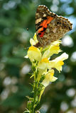 Colorful butterfly on Linaria vulgaris royalty free stock image