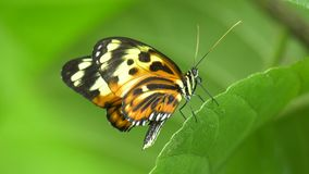 Colorful Butterfly opening and closing its wings stock footage