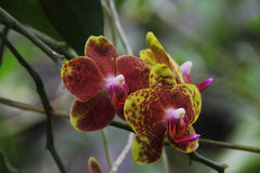 Colorful butterfly orchid. Two colorful butterfly orchid with simple background under the natural environment Royalty Free Stock Images