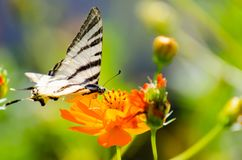 Colorful butterfly placed on an orange flower. Colorful butterfly laying on an orange flower. Blurry background Royalty Free Stock Photography