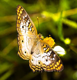 Colorful butterfly on a flower. Brown, yellow and white butterfly sitting on a plant Royalty Free Stock Photos