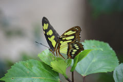 Colorful butterfly posed on leaves. Image taken in Cuba in Vinales Stock Images