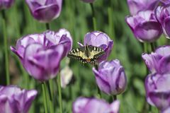 Colorful butterfly, purple tulips. Spring, flowering purple tulips. A colorful butterfly perched on them Royalty Free Stock Photo
