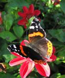 Colorful butterfly on red flower, Lithuania. Beautiful butterfly resting on red flower in summer Stock Image