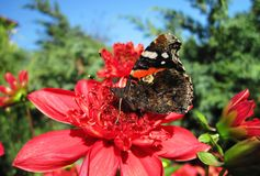 Colorful butterfly on red flower, Lithuania. Beautiful butterfly resting on red flower in summer Stock Photo