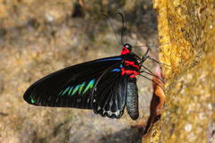 Colorful butterfly on salt lick - Series 2 Stock Photo