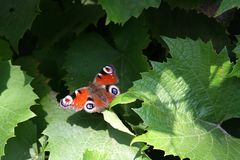 A colorful butterfly sits on a vine leaf. Multicolored butterfly sits on a vine leaf in early autumn Stock Image